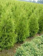 02  Thuja occidentalis Brabant